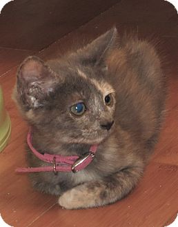 Domestic Shorthair Kitten for adoption in Coldspring, Texas - Muffin