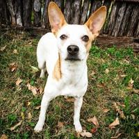 Adopt A Pet :: Violet - Fredericksburg, TX