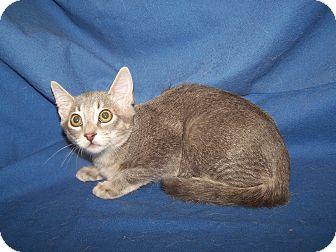 Domestic Shorthair Kitten for adoption in Colorado Springs, Colorado - K-Jenny2-Janice