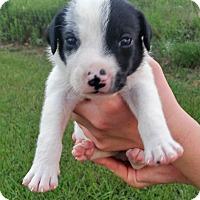 Adopt A Pet :: Dice - Waller, TX