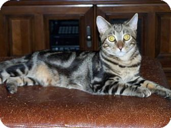 Domestic Shorthair Cat for adoption in Ashland, Virginia - Chip-ADOPTED!!!