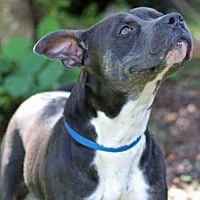 American Staffordshire Terrier Mix Dog for adoption in Tallahassee, Florida - ISABELLA