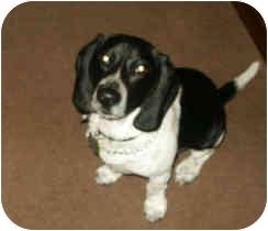 Beagle Dog for adoption in Columbus, Ohio - BUDDY