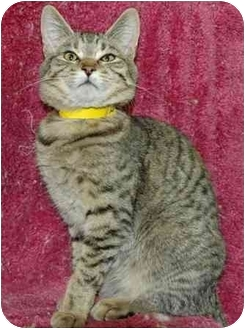 Domestic Mediumhair Cat for adoption in Pendleton, Oregon - Lover