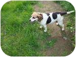 Beagle Dog for adoption in Leesport, Pennsylvania - Patty URGENTLY needs a home!