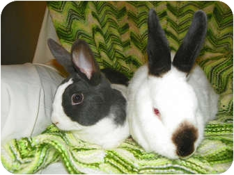 Dutch Mix for adoption in North Gower, Ontario - Snickers