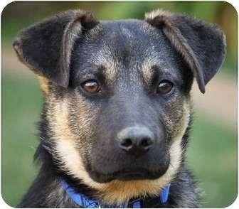 German Shepherd Dog Mix Puppy for adoption in Los Angeles, California - Grady von Buser