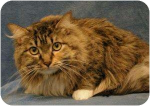 Maine Coon Cat for adoption in Sacramento, California - Lady