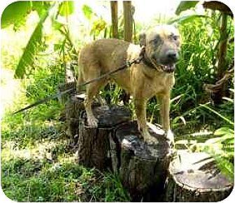 Labrador Retriever/German Shepherd Dog Mix Dog for adoption in Orlando, Florida - C.J.