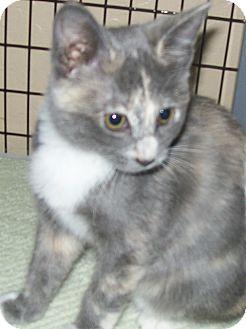Domestic Shorthair Kitten for adoption in Grants Pass, Oregon - Pipa