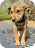Shepherd (Unknown Type) Mix Puppy for adoption in Spring Valley, New York - Silos