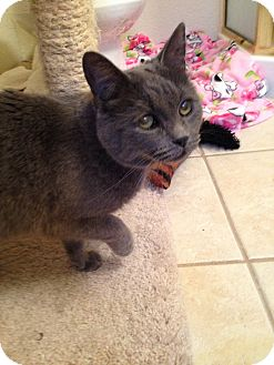 Russian Blue Cat for adoption in Fountain Hills, Arizona - LILLY