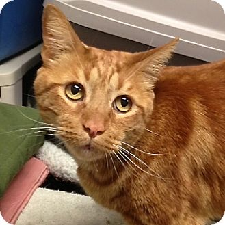 Domestic Shorthair Cat for adoption in Foothill Ranch, California - Viking