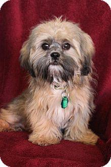 Lhasa Apso Mix Dog for adoption in Wichita, Kansas - Meng