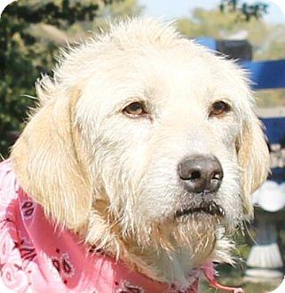 Golden Retriever/Wirehaired Fox Terrier Mix Dog for adoption in Lexington, Missouri - Sandies