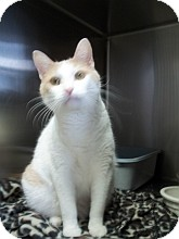 Domestic Shorthair Cat for adoption in Silver City, New Mexico - Buttons