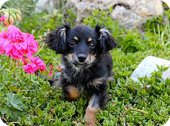 Spaniel (Unknown Type)/Chihuahua Mix Puppy for adoption in Los Angeles, California - Bunny