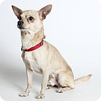 Adopt A Pet :: Major - Oakland, CA