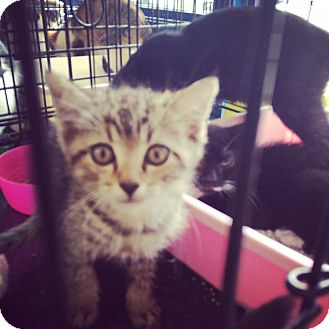 American Shorthair Kitten for adoption in Santa Monica, California - Marshal