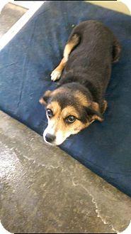 Beagle/Shiba Inu Mix Dog for adoption in Hampton, Virginia - Amber