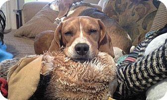 Beagle/Basset Hound Mix Dog for adoption in China, Michigan - Dakota