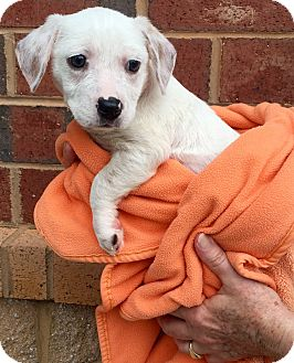 Dachshund/Terrier (Unknown Type, Medium) Mix Puppy for adoption in Mount Pleasant, South Carolina - Marie