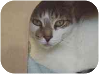 Domestic Shorthair Cat for adoption in Walker, Michigan - Isaiah