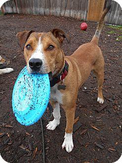 Boxer/Terrier (Unknown Type, Medium) Mix Dog for adoption in Issaquah, Washington - Cedar