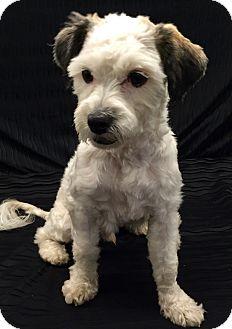 Shih Tzu/Maltese Mix Dog for adoption in Encino, California - Linus