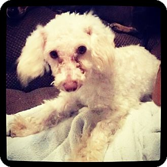 Poodle (Toy or Tea Cup) Mix Dog for adoption in Grand Bay, Alabama - Howard