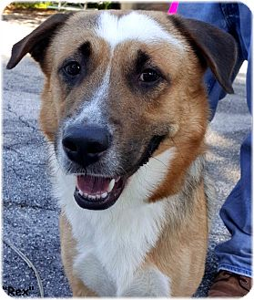 Australian Shepherd Mix Dog for adoption in Key Largo, Florida - Rex