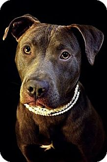 Pit Bull Terrier Mix Dog for adoption in Fort Smith, Arkansas - Manny