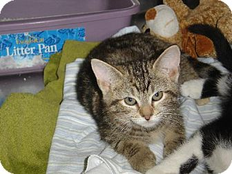 Domestic Shorthair Cat for adoption in Island Heights, New Jersey - Tinkerbell