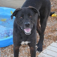 Mastiff/Labrador Retriever Mix Dog for adoption in Jewett City, Connecticut - Elliot The Huge Black Dog