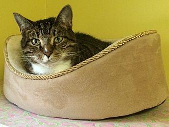 Domestic Shorthair Cat for adoption in Medway, Massachusetts - Herbie