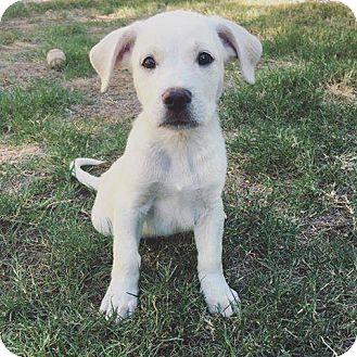 Labrador Retriever/Pit Bull Terrier Mix Puppy for adoption in Phoenix, Arizona - Ghost