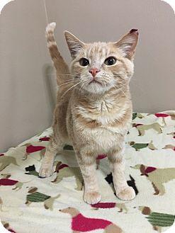 Domestic Shorthair Kitten for adoption in Saltsburg, Pennsylvania - Rascal
