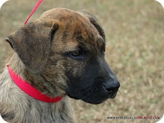 Dutch Shepherd/Boxer Mix Puppy for adoption in Waterbury, Connecticut - OPTIMUS/ADOPTED