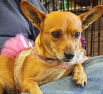 Terrier (Unknown Type, Small) Mix Dog for adoption in Henderson, Nevada - Rosalie