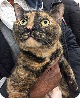 American Shorthair Cat for adoption in New york, New York - ONION