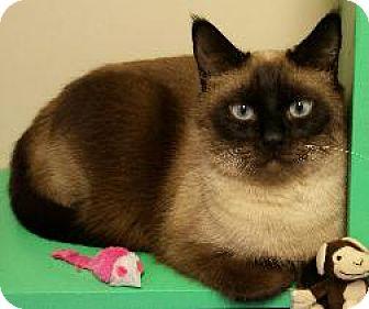 Siamese Cat for adoption in Scottsdale, Arizona - Bogie