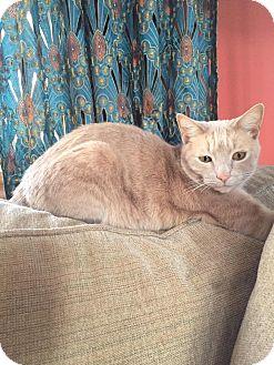 Domestic Shorthair Cat for adoption in Plainville, Massachusetts - Simba (2)