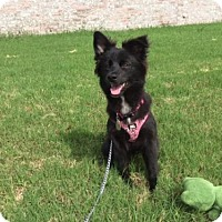 Adopt A Pet :: Holly Berry - Wylie, TX