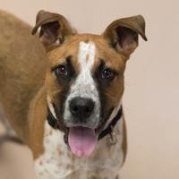 Adopt A Pet :: Gabby - Carrollton, TX