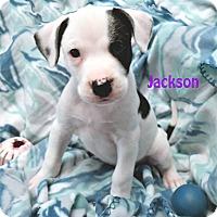 Adopt A Pet :: Jackson - Savannah, GA