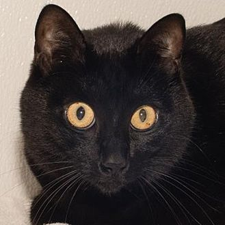 Domestic Shorthair Cat for adoption in Prescott, Arizona - Sami