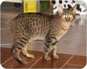 Domestic Shorthair Cat for adoption in Orlando, Florida - Rupert