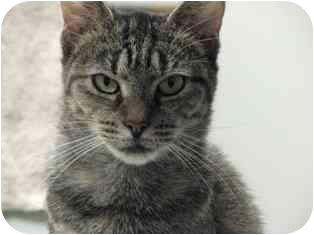 Domestic Shorthair Cat for adoption in Norwalk, Connecticut - Jada
