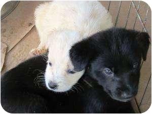Golden Retriever/Labrador Retriever Mix Puppy for adoption in Oswego, Illinois - Talon