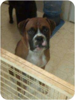 Boxer Mix Dog for adoption in Hopkinsville, Kentucky - Ed